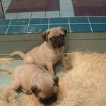 Pug Breeders – What To Look For