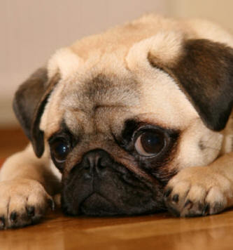Pug Care Information