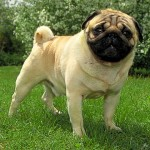 Pug Dogs – Why Register Them?
