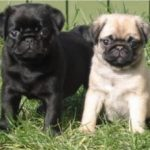 Pug Puppies – Important Features