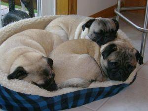 Pug Puppy Dog Beds